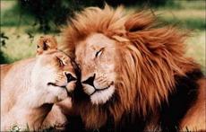 Секс с когтями льва